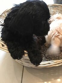 READY NOW 1st Generation Cockapoo Pups 3 colours boys and girls!