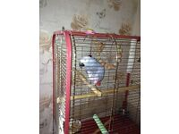 Parrot - African grey
