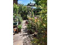 Tree, Shrub & Perennial Plant Clearance: over 100 left, all in pots