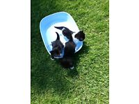 9 week old kittens for sale