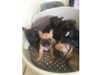 French bulldog puppies top blood lines kc reg