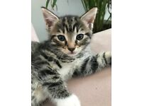 Stunning Female tabby kitten left