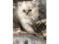 Rare British Shorthair Variant Pedigree Kittens
