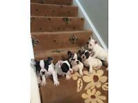 Kc registered french bulldog pups