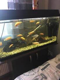 Cichlids and tank