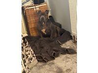 staffordshire bull terrier female