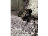 French bulldog puppys kc registered 5 generation pedigrees