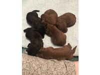 COCKAPOO PUPPIES F1 CHOCOLATE REDS