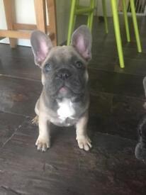** Gorgeous chunky french bulldog puppies **