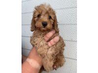 Cavapoo boy puppy