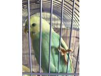Hand tame budgie and new cage