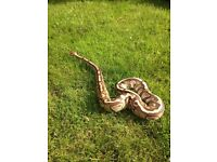 Adult male lesser royal python