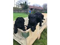 ❤️ KC Registered Kerry Blue Terrier pups for sale