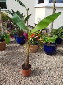 Large MUSA BASJOO Banana plants - rarely available.