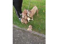 Pocket bully puppys