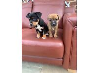 Jack Russell Puppies 1 Female 1 Male