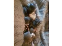 12 babies rat pick up only