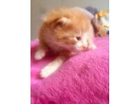beutifull ginger and white kitten