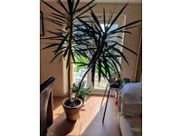 Yucca Plant - over 8ft tall - beautiful