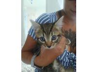 Adorable tabby boy kitten