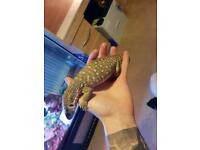Savanna monitor lizard for sale