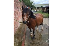 4 year old Welsh a mare