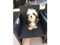 Beautiful Havenese x Maltese female puppy