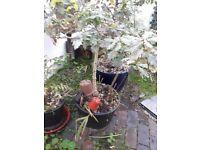 Oak tree ~ 4 ft high ~ in a pot ~ FREE