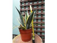 Agave Americana - easy indoor or outdoor plant