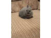 2 gorgeous baby female Netherland Dwarf bunnies, indoor cage and some accessories