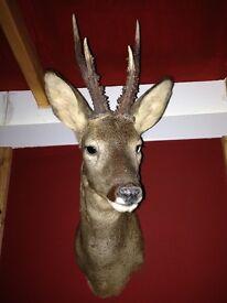 Taxidermy roe deer