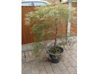 Japanese maple specimen Acer Dissectum'GARNET' in pot, 5ft High x 45ft spread