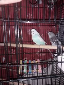 2 budgie for sale