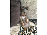 Yorkie x Jack Russell female puppy