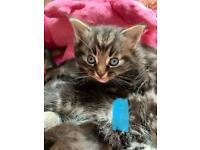 Half ragdoll/tabby kittens