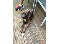 9 Month Old Male Staffordshire Bull Terrier poss mix
