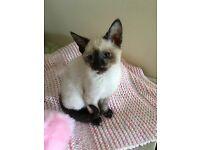 Stunning Siamese x British shorthair kitten