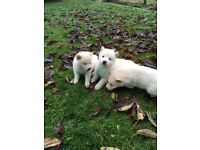 German Shepherd white pups