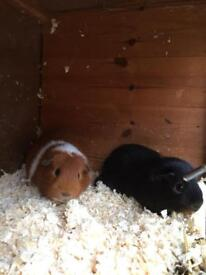 Two bonded Guinea pigs looking for loving home