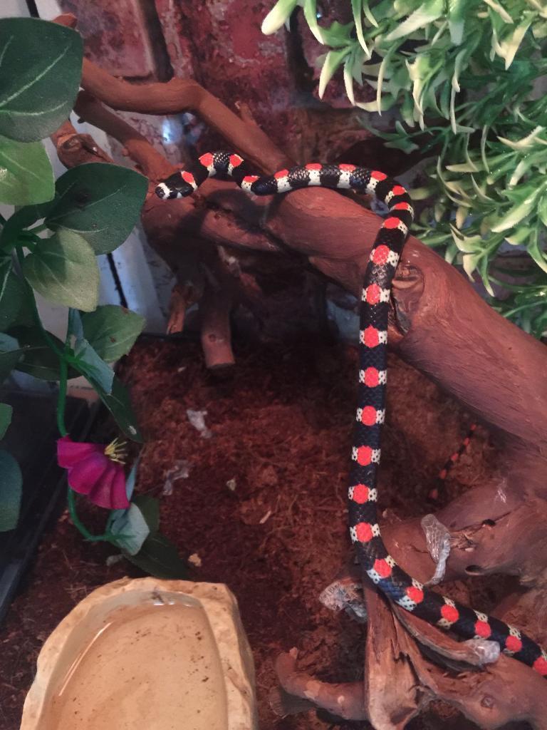 Stunning snake WOW price lowered