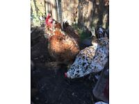 Two pekin chickens for sale - need to go together