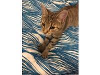 Tabby kitten x Bengal