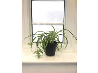 House plants: Spider plants for nostalgia and good vibes