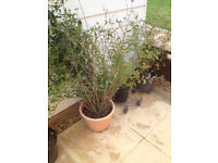 5 privet newly planted hedging plants/New build. Surplus as restructuring garden £2 each