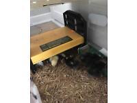 Olive Egger and Pekin Chicks