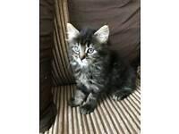Amazing maine coon cross persian kitten