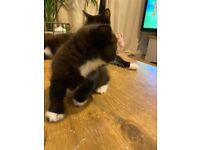 *all reserved Kittens 2x long hair and 2x short hair cross with British long hair