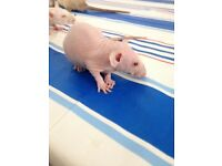 Baby rats stunning