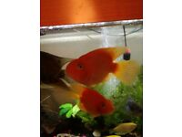 Parrot fishs and severum