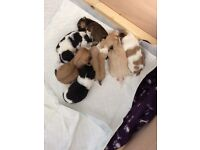Lhasa apso pups for sale